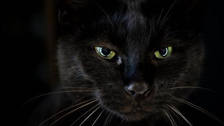 Приметы водителей черная кошка